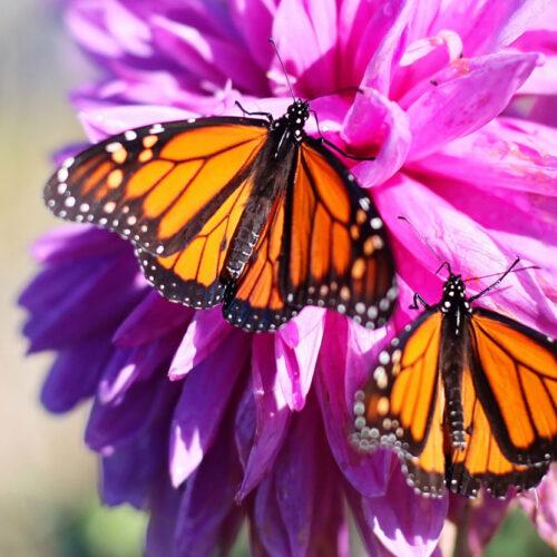 Bijen en vlinderstruiken, een genot voor het oog!